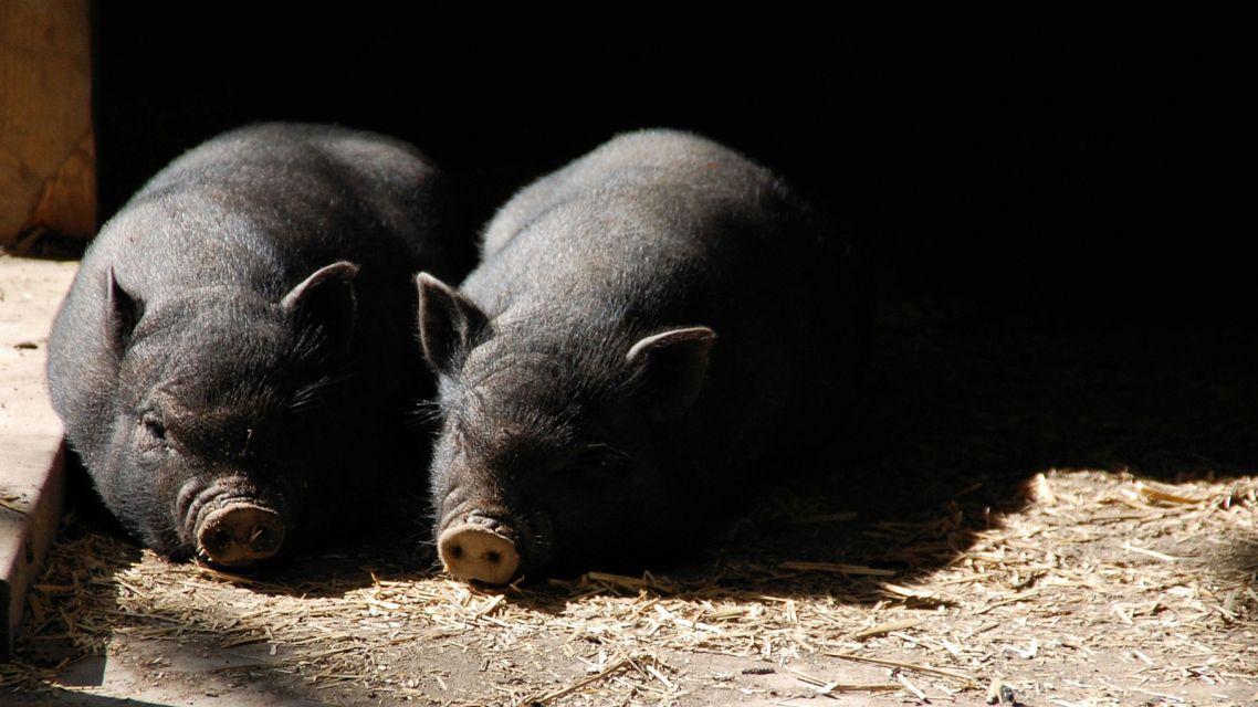 Upozornenie regionálnej a veterinárnej správy v Nitre pre chovateľov ošípaných